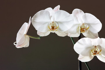 white orchid - phalaenopsis flower