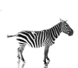 Zebra standing in profile