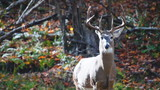 Whitetail Deer in Falling Leaves