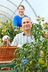 Woman and man picking tomato