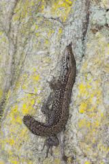 Common lizard (Zootoca vivipara) missing tail sitting on oak