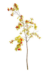 small isolated rowan tree with berries