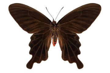 Butterfly species Atrophaneura aristolochiae kotzebuea