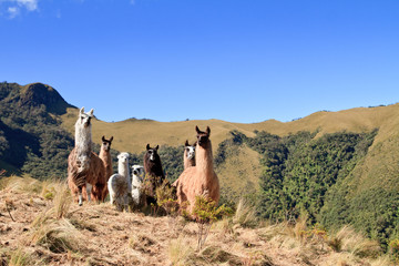 South America Alpaca and llama,Pasochoa Ecuador