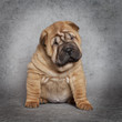 Portrait of Shar-Pei puppy dog
