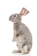 Gray rabbit, isolated on white