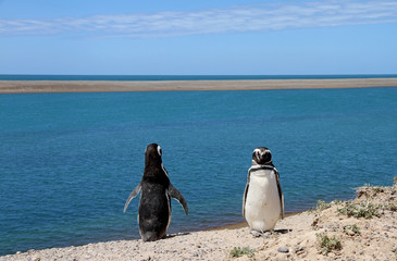 Ridiculous couple of penguins Magellanic on the Atlantic coast.