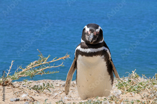 Penguin Magellanic on the Atlantic coast.