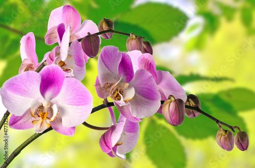 Różowy Phalaenopsis w tle wiosny