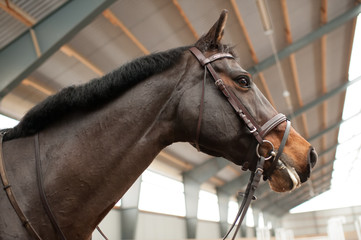 Portrait of a proud mare in a drill-hall