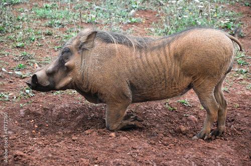 Closeup portrait of a warthog