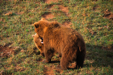 Female european brown bear and cub