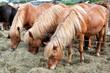 Icelandic horses grazing outside Reykjavik in Iceland