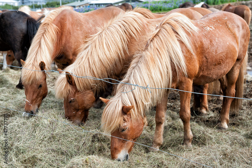 Icelandic horses grazing outside Reykjavik in Iceland