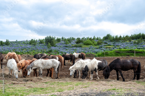 Herd of Icelandic horses grazing outside Reykjavik in Iceland