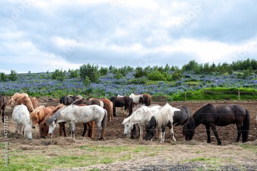 Herd of Icelandic horses grazing outside Reykjavik in Iceland