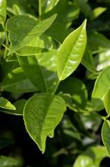 Tee Plantage Kamerun