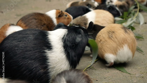 Guinea Pigs Eating Eucalyptus Leafs  close up