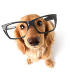 Funny dachshund. - 47746502