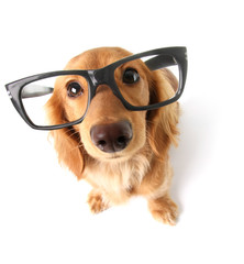 Funny dachshund.