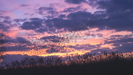 Blackbird Migration at Sunrise
