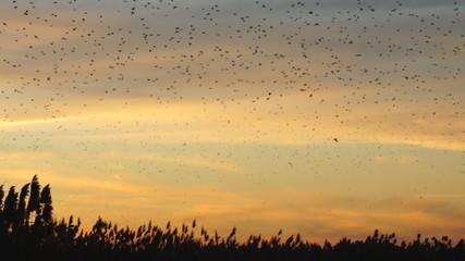 Blackbirds Roosting