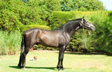 exterior of  pure-bred  Andalusian grey  stallion. Spain poster