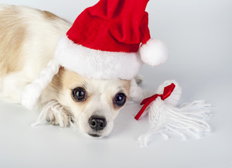 red Santa Claus hat with pigtails and bow on Chihuahua dog head
