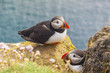 Puffins family - Latrabjarg, Iceland.