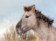 Portrait of a Konik horse