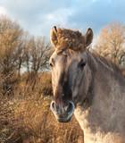 Portrait of a Konik horse