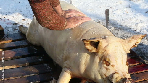 Pig slaughtered in a traditional way, in a small farm ...