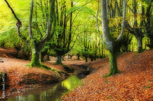 stream through the trees in a beautiful beech forest in autumn