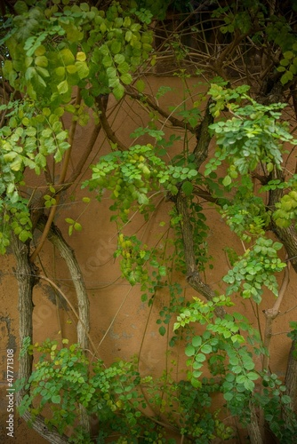 Ivy leaves grow on wall