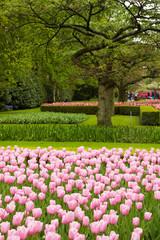 spring tulips field