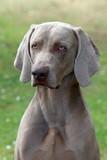 Portrait of Weimaraner Short-haired dog poster
