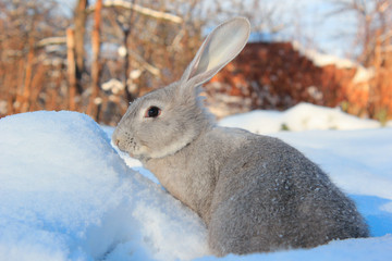 hare and snow
