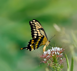 Giant Swallowtail butterfly feeding on wildflowers