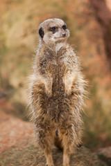 Alert: concerned meerkat looking out