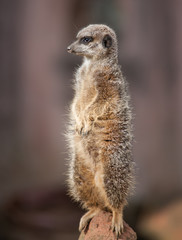 Animal life in Africa: watchful meercat