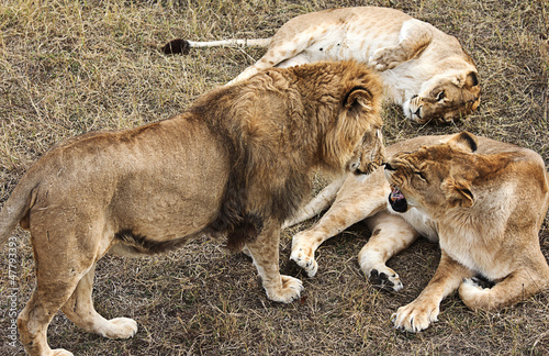few females and one male lion