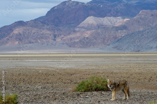 coyote in death valley 2