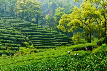 Hangzhou tea garden