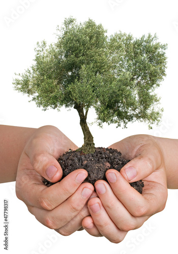 Plexiglas Olijfboom Olive tree in hands as a gift