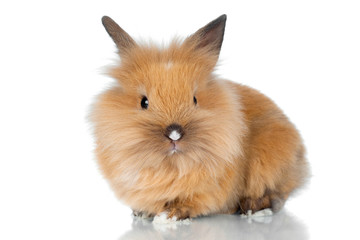cute rabbit pet isolated on white