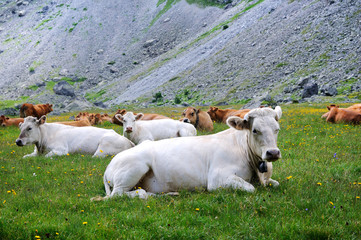 Alps cows