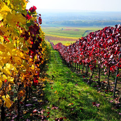 Colorful vineyard