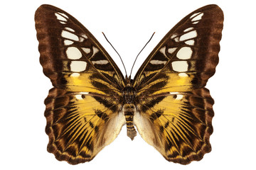 Butterfly species Parthenos sylvia