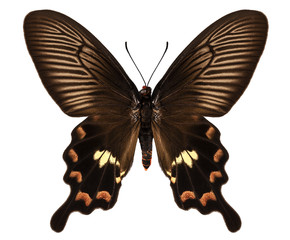 Butterfly species Pachliopta aristolochiae antissa