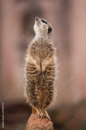 Look  out: watchful meerkat or suricate